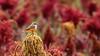 Pyrocephalus rubinus (Pablo Leautaud.) Tags: sanluistlaxialtemalco xochimilco mexico ciudaddemexico df cdmx naturaleza pleautaud aves avifauna bird amaranto amaranth pyrocephalusrubinus