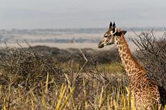 Giraffe (Nicolas Bousquet) Tags: giraffe girafe safari gamedrive tanzanie tanzania africa afrique da55300 pentaxk3 olduvaigorge gorgesdolduvai