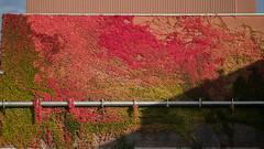 Efeu im Herbst (fplderl) Tags: fall autumn herbst bltter leaves golden gold oktober october spaziergang natur landscape nature walk sun sonnig sunny sky himmel laub
