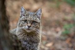 WildeKat01-6796 (Esther van Rooijen) Tags: bayerischerwald animals wildlife