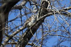 RZ4A2297.JPG (jean.dezeeuw) Tags: barred owl