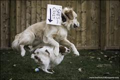 "45-52 ""she's still crazy"" (Dave (www.thePhotonWhisperer.com)) Tags: 52weeksfordogs 52weeksforeva brittanyspaniel brittany crazy goldenretriever play dogversation"