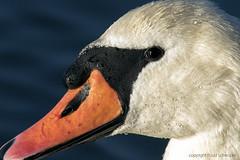 Zwaan - Swan close-up (explored) (Ruud.) Tags: ruudschreuder nikon nikond810 d810 8004000mm tolbergvijver roosendaal zwaan zwanen swan swans schwan schwne cygne cygnes cigno cigni cisne cisnes olor svan svane svanar 7100 750 3200 3300 3400 closeup