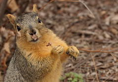 Squirrel, Morton Arboretum. 375 (EOS) (Mega-Magpie) Tags: canon eos 60d nature wildlife hungry squirrel the morton arboretum lisle dupage il illinois usa america outdoors outdoor eat kiss