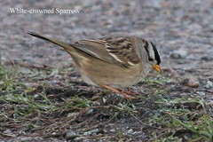 White-crowned Sparrow (Terrance Carr) Tags: dncb 201649 dike terry carr terrycarr 2016 december 20161206