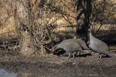 Helmeted guineafowl (wietsej) Tags: helmeted guineafowl roys rest camp namibia rx10m3 rx10 iii rx10iii wildlife wietse jongsma