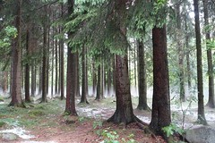 The foggy forrest (patrickiversen) Tags: woods hail fog forrest nature trees wood