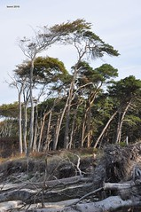 001 Windflüchter am darß (modekopp) Tags: eastsee ostsee fischland dars zingst darss nikond90 d90 nikon 70300