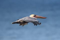 Brown Pelican in Flight (Patricia Ware) Tags: 600mmef600mmf4lisiiusm california californiabrownpelican canon pacificocean palosverdespeninsula pelecanusoccidentalis httppwarezenfoliocom ©2016patriciawareallrightsreserved playadelrey unitedstatesofamerica fullframe specanimal