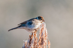 Reed Bunting (f) (emberiza schoeniclus) (phat5toe) Tags: reedbunting emberizaschoeniclus birds avian feathers wildlife nature wigan flashes greenheart nikon d300 sigma150500