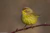 BJ8A1470-Palm Warbler (tfells) Tags: palmwarbler songbird passerine bird nature nj newjersey mercer pole farm