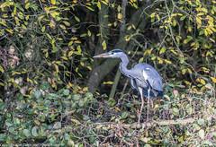 9Q6A9106 (2) (Alinbidford) Tags: alinbidford alancurtis brandonmarsh goldeneye cormorant greyheron heron shoveler greatcrestedgrebe kestrel shelduck wildfowl