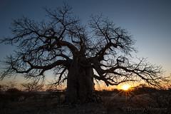 11-Botswana_2016 (Beverly Houwing) Tags: africa ancient baobab botswana desert dusk glow islandoflostbaobabs kalahari makadigkadipans massive orange saltpan silhouette sunset thick tree trunk
