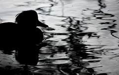 Tufty (GillK2012) Tags: nature wildlife river silhouette light ripples tufted duck