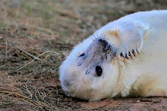 Paws for thought (robin denton) Tags: greyseal pup feeding milking seals seal animal nature lwt lincolnshirewildlifetrust wildlifetrust wildlife donna donnanook halichoerusgrypus naturereserve coast