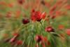 Efecto zoom. (Pilar Lozano ♥) Tags: zoom amapolas color flor foto pilar lozano♥