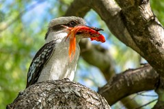 Kookaburra and Goldfish (kathiemt1) Tags: kookaburra australian goldfish fisher