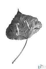 Sinfonia en Otoo menor II (Leticia Cabo) Tags: sinfonia otoo autumn classic clasica music musica violin fiddle cello chelo hoja color bw leticia cabo abstracto abstract contemporany comtemporaneo