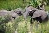 Elephants Clash in the Grass (Eric Kilby) Tags: tampa lowrypark zoo elephants pair clash