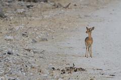 Dik Dik on the Road (C McCann) Tags: dikdik antelope small creature weebeastie ungulate etosha nationalpark namibia africa