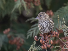 Pine Siskin (Kirchmeier) Tags: pinesiskin birding birds nature wildlife canada saskatchewan olympus olympusomdem1 em1 microfourthirds panasonicleicadgvarioelmar100400mmf4063