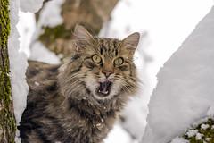 Felis Silvestris (diegomaradonatuapse) Tags: derkater felis  cat felissilvestris nikkor50f18g nikond7200 chat  gato  kucing      der kater