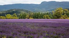 margate lavender (Keith Midson) Tags: margate tasmania lavender fields field landscape rural farm agriculture hills mountain summer