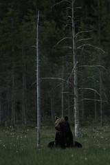Wild brown bear (Finland) (Samuel Raison) Tags: ours bear oursbrun brownbear finlande finland karhu animal nature wildlife wilderness nikon nikond3 nikon4200400mmafsgvr