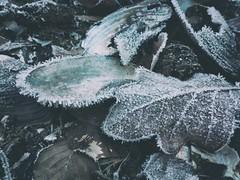 Seeufer im Winter (beudii) Tags: eis schnee frost reif ice snow winter muscheln shells see ufer lake blatt leaf