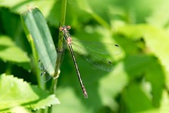 2016 Emerald Spreadwing Damselfly (Lestes dryas) 3 (DrLensCap) Tags: emerald spreadwing damselfly weber spur trail labagh woods chicago illinois abandoned union pacific railroad right way il bug insect rails to trails cook county forest preserve district preserves damsel fly robert kramer