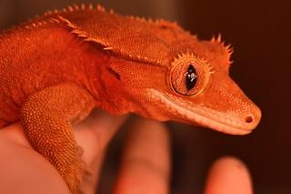 Newest member of the family - Cookie !🐉 #crestedgecko #crestie #reptile #gecko #rescue #reptillia #lizard