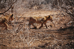 On the prowl (crafty1tutu (Ann)) Tags: travel holiday 2016 southafrica africa african krugernationalpark animal lion lioness cub cubs baby motherandbaby cute amazingsighttosee crafty1tutu canon5dmkiii ef100400mmf4556lisiiusm anncameron naturethroughthelens