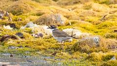 7K8A7064 (rpealit) Tags: scenery wildlife nature east hatchery hackettstown killdeer bird