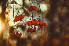 frosted berries (Sascha Wolf) Tags: frostedberries rot bokeh beeren wald morgen kaltr frostig cold gefroren d750 zeisikon