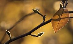 Old and New (AnyMotion) Tags: magnoliabud magnolienknospe leaf blatt sunshine sonnenschein backlight gegenlicht neighbourhood nachbarschaft backyard hinterhof 2016 anymotion frankfurt nature natur plants pflanzen neighbour nachbar garden garten 7d2 canoneos7dmarkii gold autumn fall herbst automne otoño