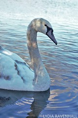 (lydiaravenhall) Tags: cornwall swan swanpool nature reserve swans water lake blue reflections ripples close up rule thirds animal bird