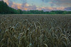 Wheat after rain. Stack of 9 photos (KlavsNielsen) Tags: field sunset evening closeup macro stacking stack august nature landscape agriculture countryside itsalive bornholm denmark