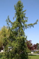 Larix laricina-03 (The Tree Library (TreeLib.ca)) Tags: tamarack larixlaricina