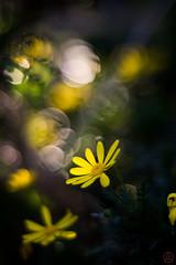 ILCE-6000-20161220-08740 // Minolta MC (MC-II) Rokkor-PF 58mm 1:1.4 (Otattemita) Tags: 58mmf14 florafauna mcrokkor minolta minoltamcmciirokkorpf58mmf14 fauna flora flower nature plant wildlife minoltamcmciirokkorpf58mm114 sony sonyilce6000 ilce6000 58mm cnaturalbnatural ota