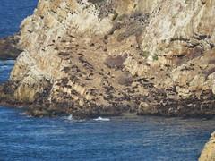 Huge colony of Cape Fur Seals (benyeuda) Tags: gardenroute southafrica africa robberg robbergnaturereserve naturereserve plattenbergbay scenic coastal beautifulplace