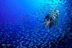 Lionfish (Pterois volitans) hunting glassfish (Patxikun) Tags: lionfish pteroisvolitans pterois hunting glassfish redsea wreck gordonreef egypt d300
