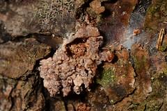 Resine tube (Dendroctonus)