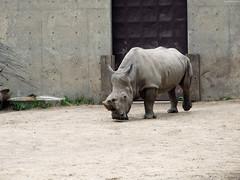 """White Rhinoceros walking towards • <a style=""""font-size:0.8em;"""" href=""""http://www.flickr.com/photos/34843984@N07/14919712003/"""" target=""""_blank"""">View on Flickr</a>"""