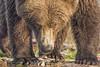 Salmon Again? (daveinhst) Tags: bear park autumn portrait brown fall by alaska nikon flickr september coastal national crop eyebrow grizzly claws sockeye 060 katmai oversharpened slamon 092914