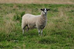 Standing Straight - Explored (EJ Images) Tags: uk england slr field animal nikon sheep farm farming norfolk explore dslr farmanimals eastanglia 2014 nikonslr d90 flickrexplore nikondslr explored herringfleet haddiscoe nikond90 55300mmlens ejimages dsc0013c