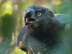 Crowned Eagle (Standardwing) Tags: sandiegozoo accipitridae crownedeagle stephanoaetuscoronatus