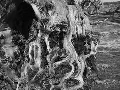 Epecuen. Tamarix aphylla (Tamarisco 2) (sbstnhl - Siti) Tags: bw naturaleza blanco lago arboles sony inundacion negro bn sal raices desnudas dsch2 epecuen