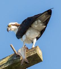 _C5A8003.jpg (Lake Worth) Tags: bird nature birds animal animals canon wings wildlife feathers sigma waterbird wetlands everglades waterbirds southflorida 2xextender