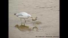 Slender-billed Gull (Chroicocephalus genei) working a fish slow motion (Steve Arena) Tags: fish bird gull slomo jeddah saudiarabia slowmotion slenderbilledgull poopriver sbgu chroicocephalusgenei