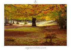 Nel Bosco Incantato (Simone Angelucci) Tags: foglie autunno lazio cornice faggio simbruini filettino boscoincantato campostati